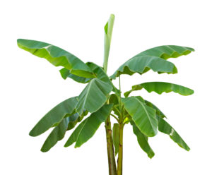 Musaceae Plant Extract